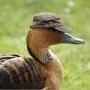 Duck Luca foto